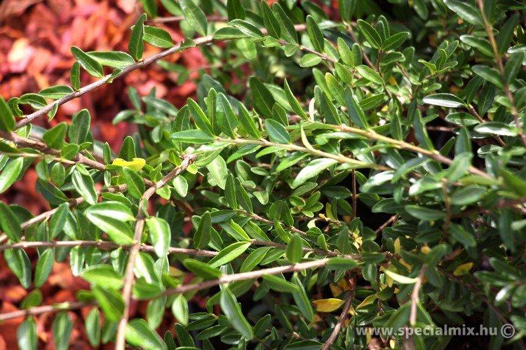 Lonicera pileata MOSS GREEN