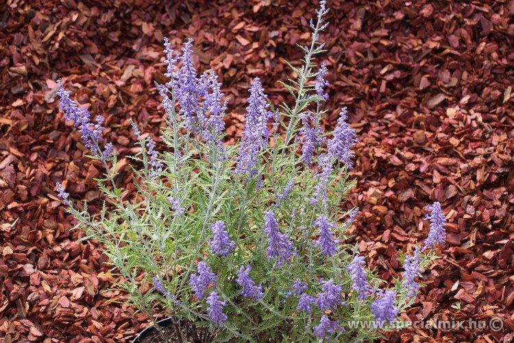 Sudárzsálya, Perovskia atriplicifolia LACEY BLUE ®