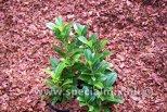 Prunus laurocerasus ANTONIUS ®
