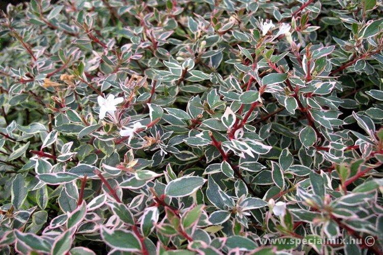 Abelia grandiflora PANACHE