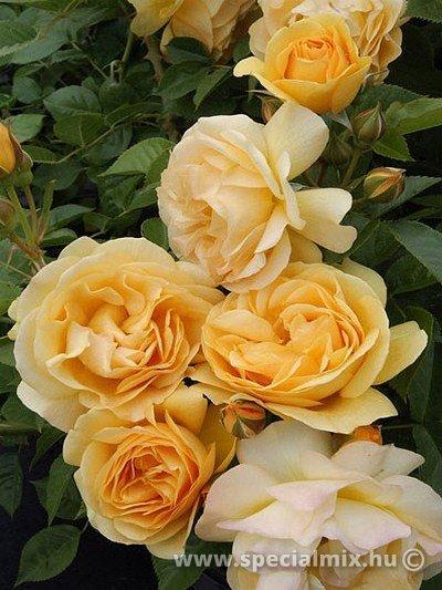 Rosa ANISADE ®
