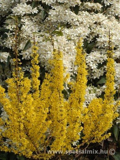 Forsythia x intermedia MIKADOR ®