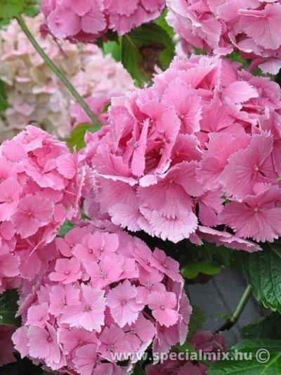 Hortenzia, Hydrangea macrophylla DOLCE FARFALLE ®