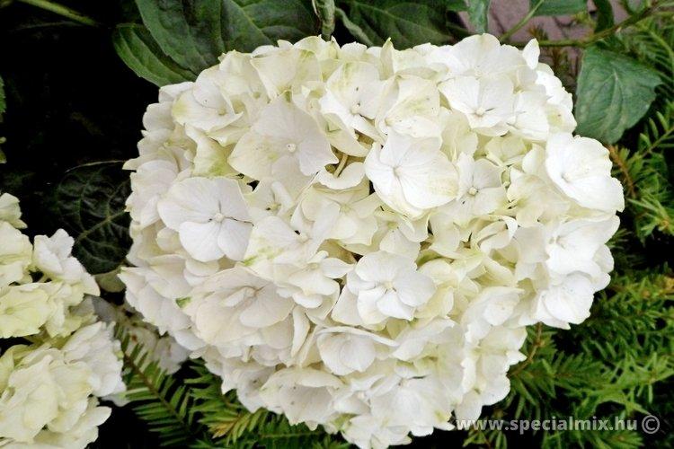 Hortenzia, Hydrangea macrophylla WUDU