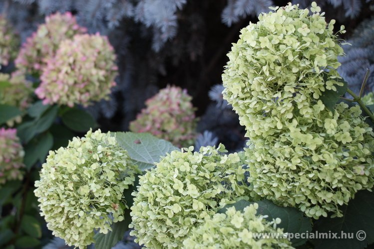 Hydrangea arborescens INCREDIBALL ®