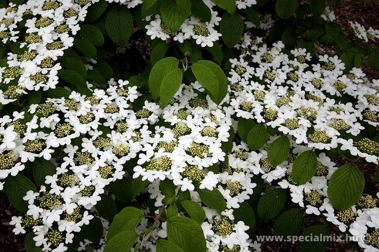 Viburnum plicatum KILIMANDJARO