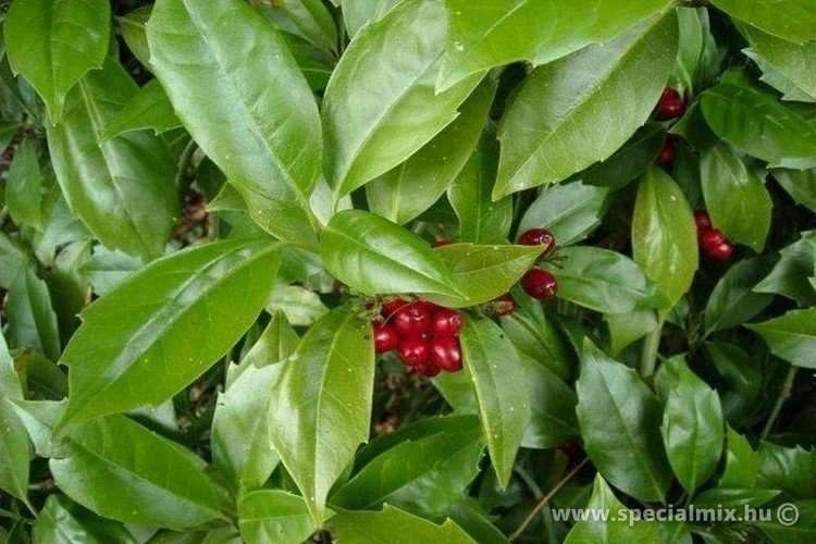 Japán babérsom, Aucuba japonica ROZANNIE