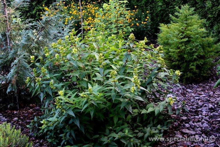 Diervillea sessilifolia BUTTERFLY