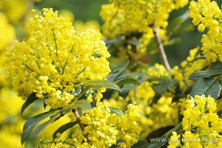 Mahonia aquifolium APOLLO