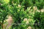 Thuja plicata CAN CAN