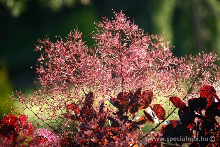 Cotinus coggygria LILLA ®