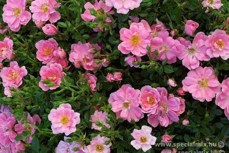 Rosa PINK PINS ®