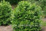 Prunus laurocerasus GREENPEACE