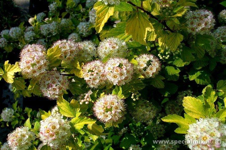 Hólyagvessző, Physocarpus opulifolius LUTEUS