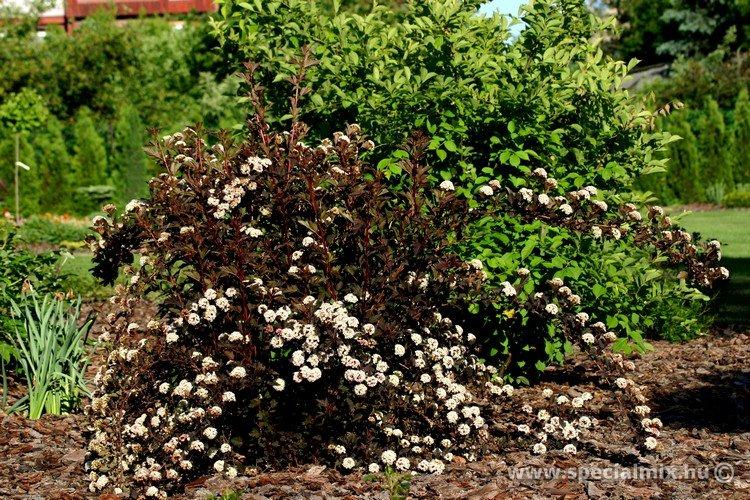 Physocarpus opulifolius SUMMER WINE ®