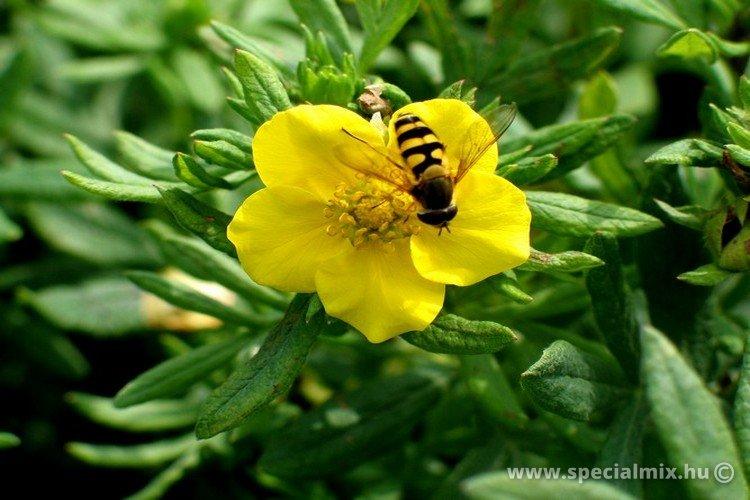 Potentilla fruticosa HACHMANNS GIGANT