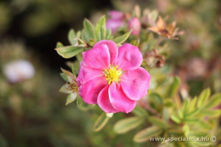 Potentilla fruticosa PINK PARADISE ®
