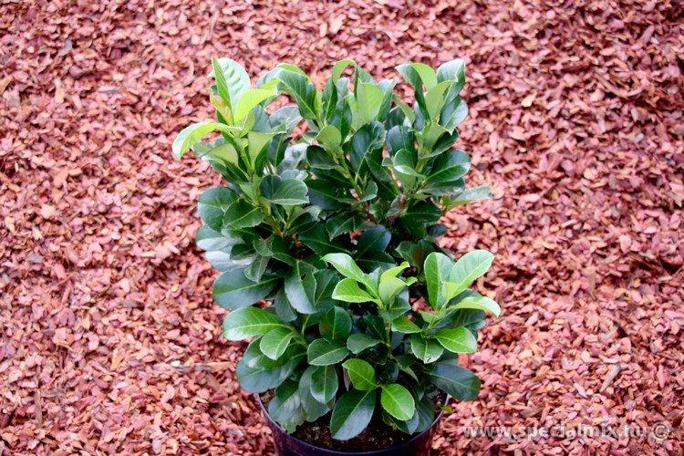 Prunus laurocerasus ETNA ®