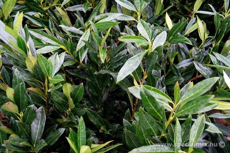 Prunus laurocerasus OTTO LUYKEN