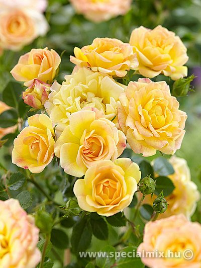 Rosa FAIRY YELLOW