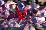 Prunus x cistena