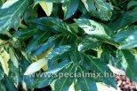 Prunus laurocerasus BARABITS SILVER