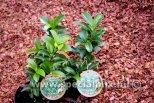 Prunus laurocerasus KLEOPÁTRA