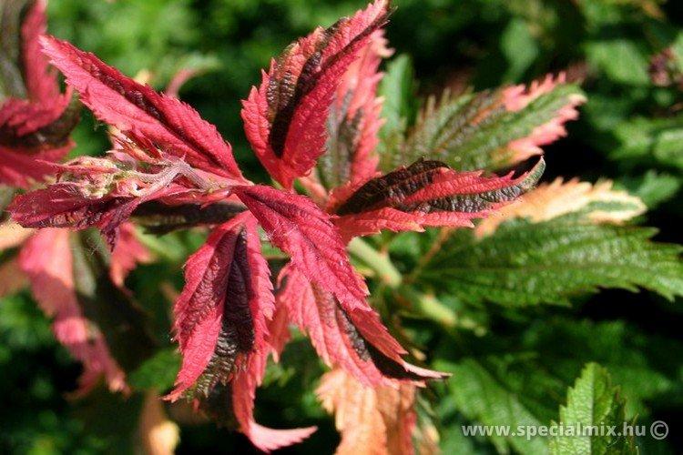 Spiraea japonica CRISPA