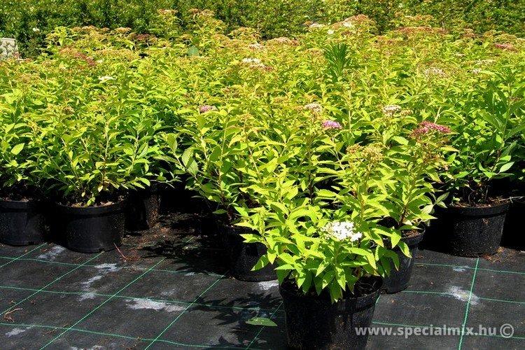 Spiraea japonica GENPEI/SHIROBANA