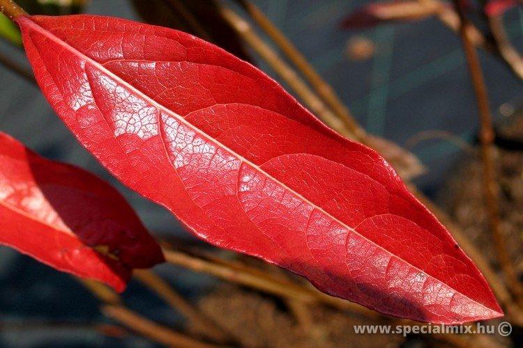 Viburnum nudum PINK BEAUTY
