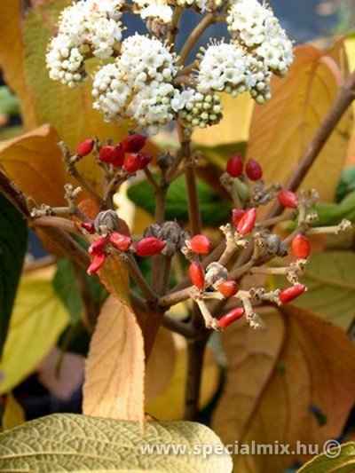 Viburnum x rhytidophylloides WILLOWWOOD