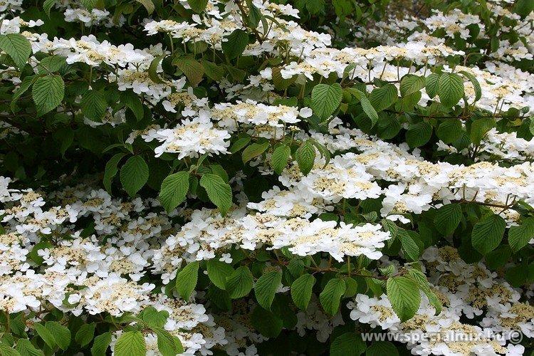 Viburnum plicatum MARIESII