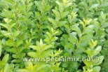Ligustrum ovalifolium GREEN DIAMOND ®