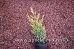 Juniperus chinensis MISI