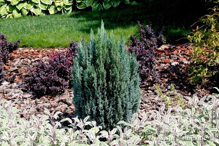 Chamaecyparis lawsoniana CHILWORTH SILVER