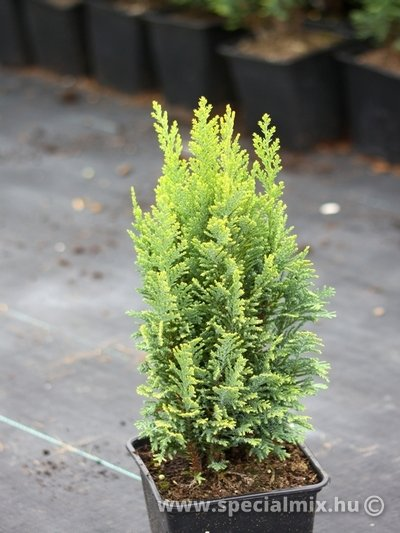 Chamaecyparis lawsoniana ELLWOODS EMPIRE