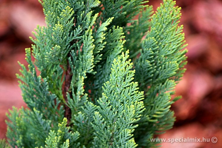 Chamaecyparis lawsoniana ELLWOOD'S EMPIRE
