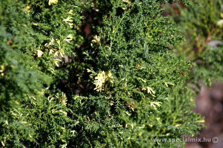Chamaecyparis obtusa SNOWFLAKE