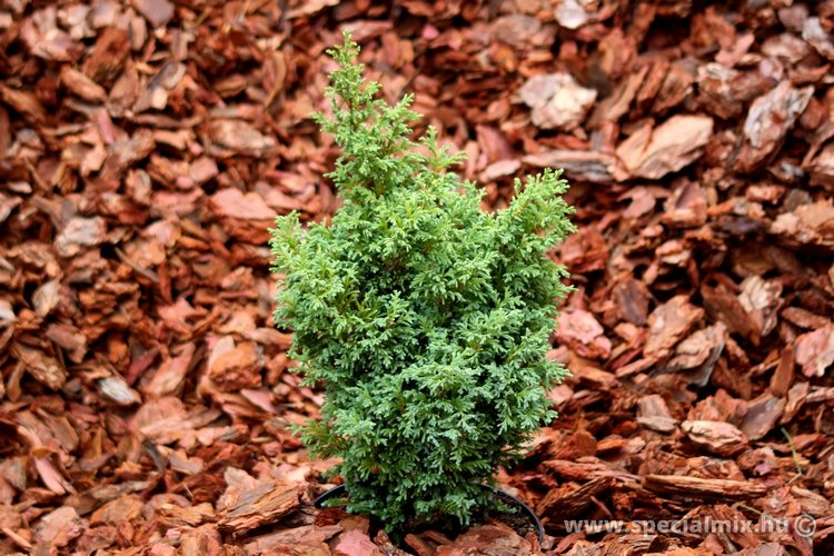 Chamaecyparis pisifera SQUARROSA DUMOSA