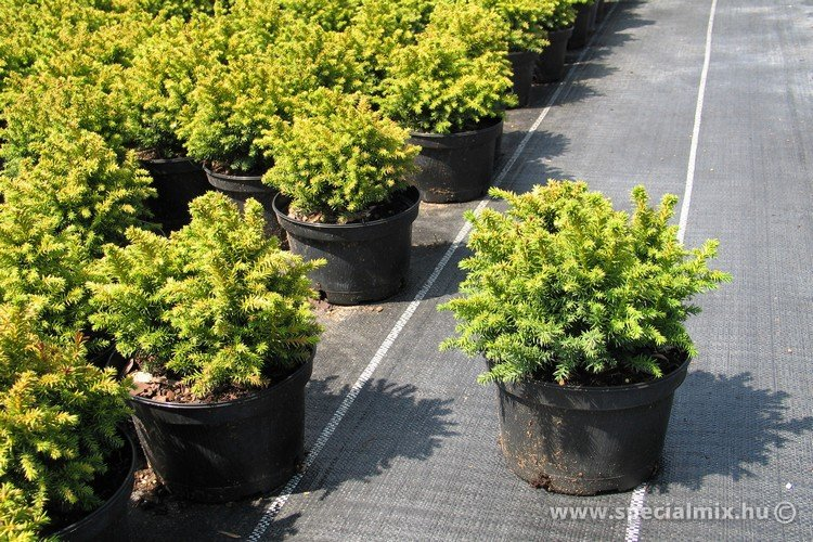 Szugifenyő, Cryptomeria japonica VILMORINIANA