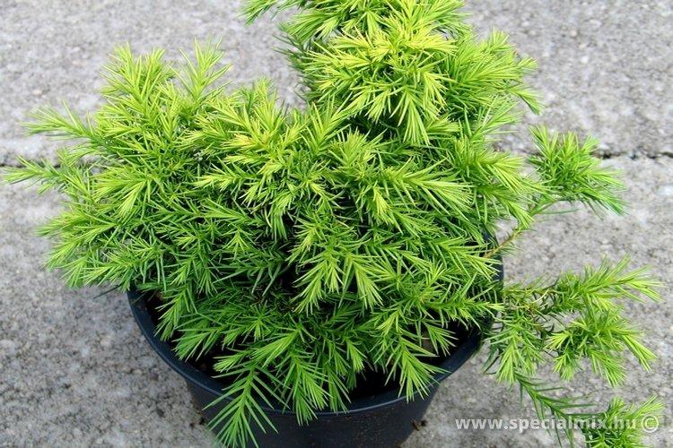 Szugifenyő, Cryptomeria japonica MONSTROSA NANA