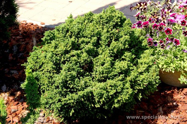 Cryptomeria japonica VILMORINIANA