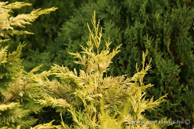 Cupressocyparis leylandii GOLD RIDER