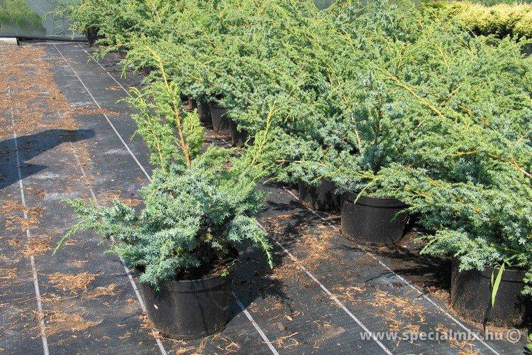 Boróka, Juniperus chinensis BLUE ALPS