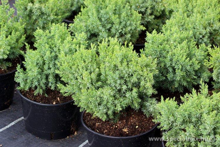 Juniperus chinensis ECHINIFORMIS