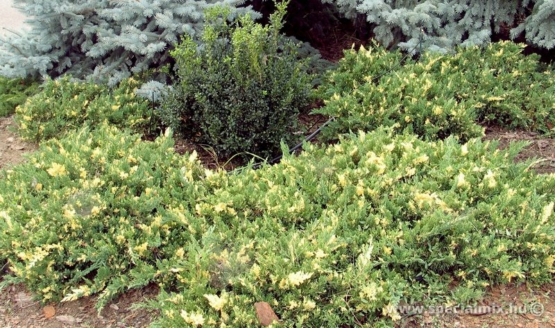 Boróka, Juniperus chinensis EXPANSA VARIEGATA