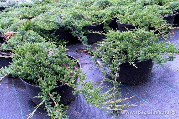 Juniperus horizontalis GLAUCA