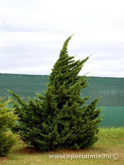 Juniperus chinensis VASE