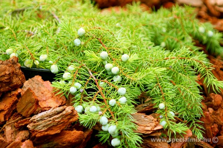 Juniperus conferta ALL GOLD
