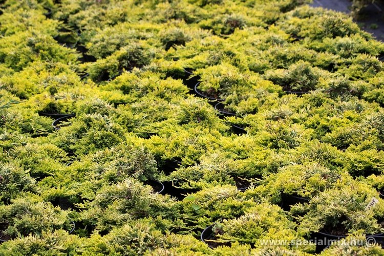 Juniperus horizontalis GOLDEN CARPET